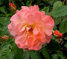 Shrub rose in the Helen Sutton Rose Garden