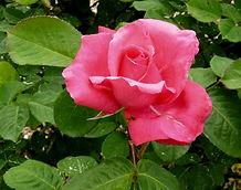 Hybrid tea rose in the Helen Sutton Rose Garden