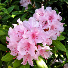 Rhododendron Hell