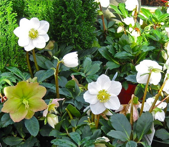 Black Hellebores and A Little Girl's Tears