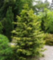 Conifers in the Coenosium Rock Garden SSC Arboretum Seattle
