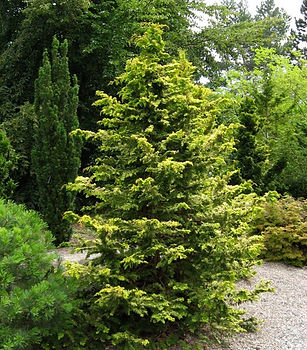 Conifers in the Coenosium Rock Garden SSC Arboretum Seattle