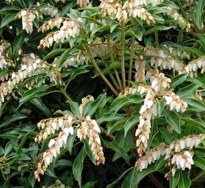 Get to Know the Lily of the Valley Shrubs