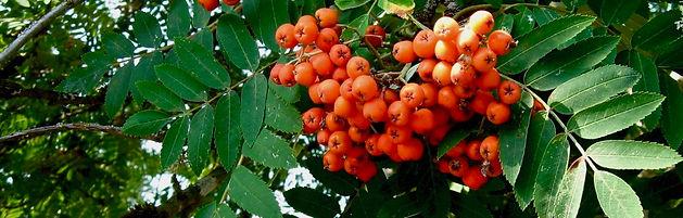 Sorbus subg. Sorbus/ Rowan Tree