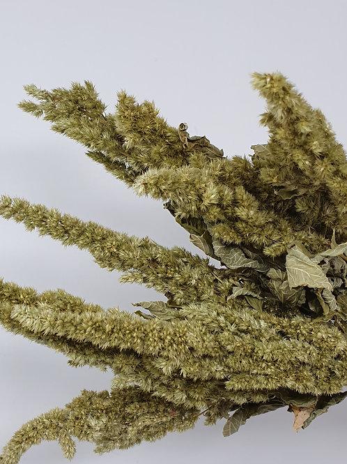 Natural Green Amaranthus