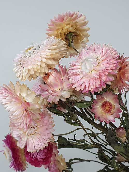 Natural Pink Helichrysum
