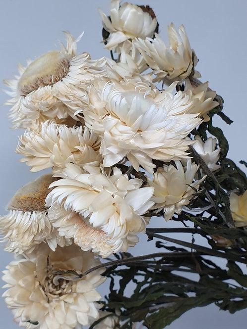 White Helichrysum