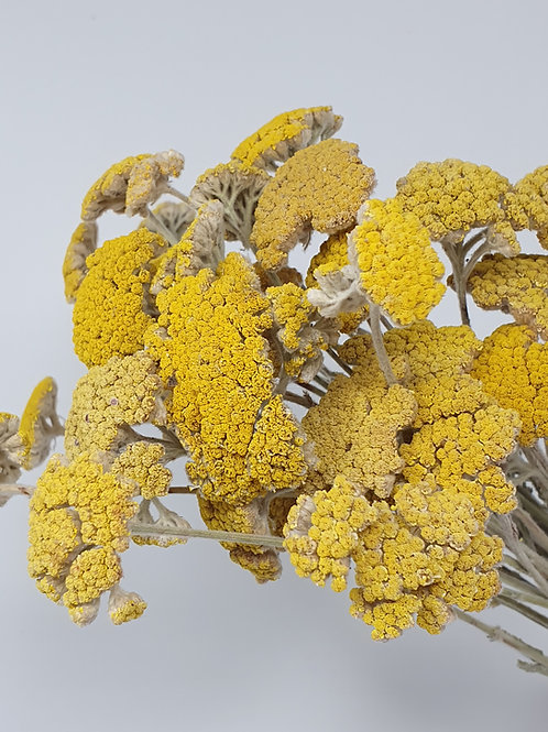 Natural Yellow Achillea