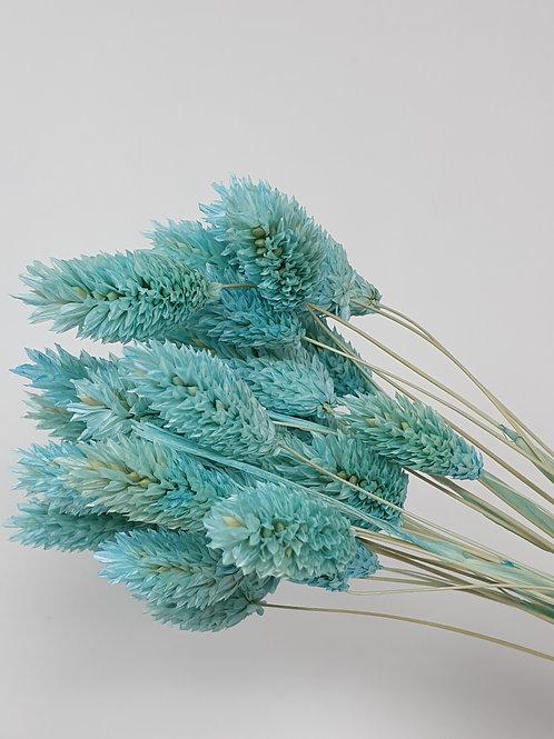 Light Blue Phalaris