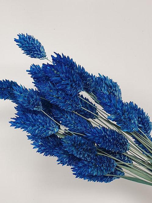 Blue Phalaris