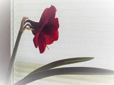 Ann Hopkins - Gentle Amaryllis