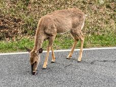 Andrea Popick - White-Tailed Deer
