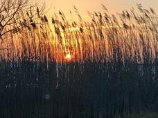 Jim Jones - Reeds at Sunset