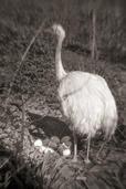 Eban Ostby - Ostrich