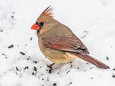 Andrea Popick_Female Northern Cardinal.j
