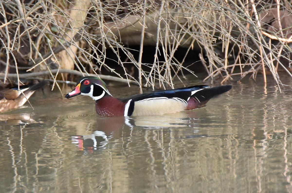 Len Zentz - Male Wood Duck