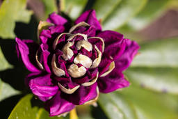Michael Smith - Rhodo About to Bloom