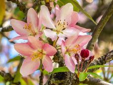 Andrea Popick - Crabapple Blossoms
