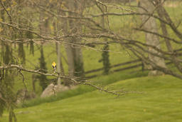 Michael Smith - Goldfinch at McCormick M