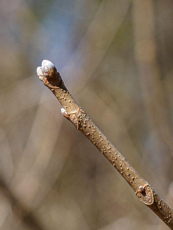 Bob Kovach - Spring Buds