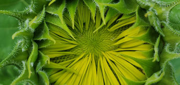 Leil Hackett - Sunflower Detail