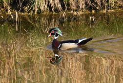 Len Zentz - Wood Duck on Glassy Pond