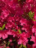Claudette Benavitch - Springtime Azaleas