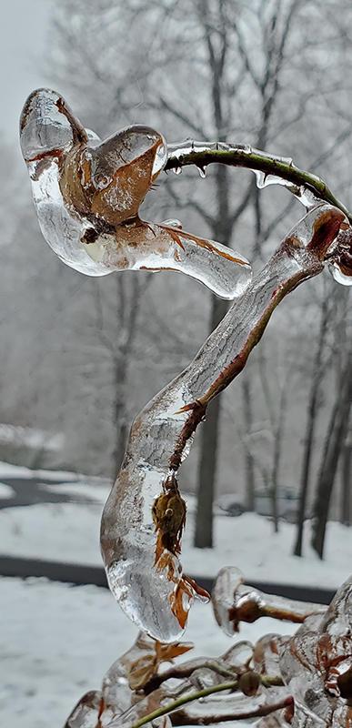 Leil Hackett - Winter Rose