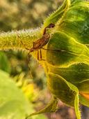 Andrea Popick - Bug on Sunflower