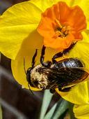 Andrea Pipick - Bumblebee on Daffodil