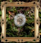 Chuck Almarez - Framed-Dandelion