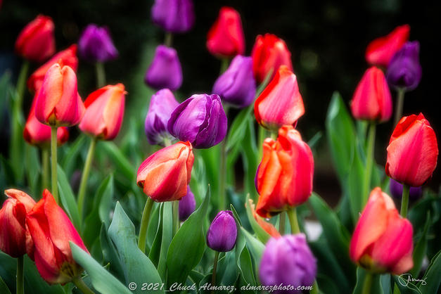 Chuck Almarez - Tulips in the Garden