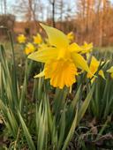 Claudette Benavitch - Daffodil