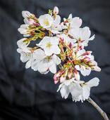 Bob Kovach - Cherry Blossoms