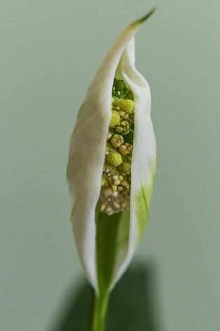Michael Smith - Peace Lily Opening
