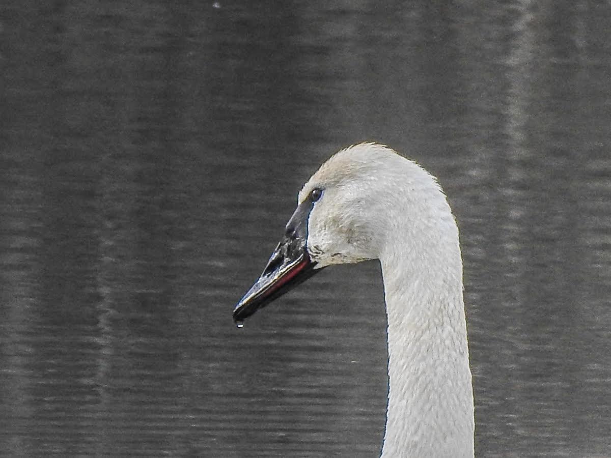 Andrea Popick - Trumpeter Swan.jpg