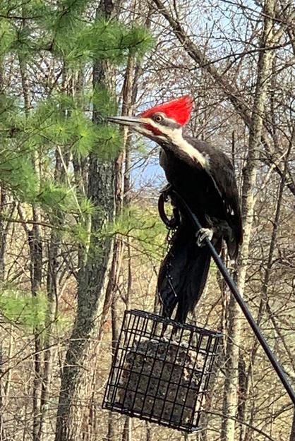Bob McLean - Pileated Woodpecker
