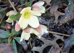 Ann Hopkins - Lenten Rose