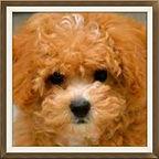 Maltipoo, Poochon, Shih Tzu, Bichon & Cavachon Puppies