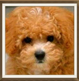 ShihPoo Puppies for Sale Iowa | Puppy Stars