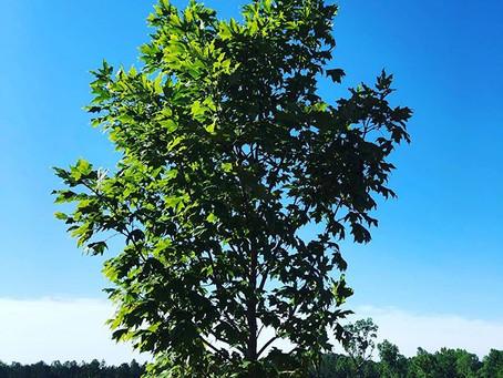 Sugar Maple / Acer saccharum