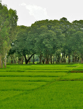paddy fields(1).jpg