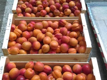 Les 1ers abricots arrivent aussi !