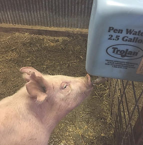 hog waterers in a pen