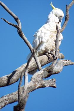 Austrailian Cockatoo