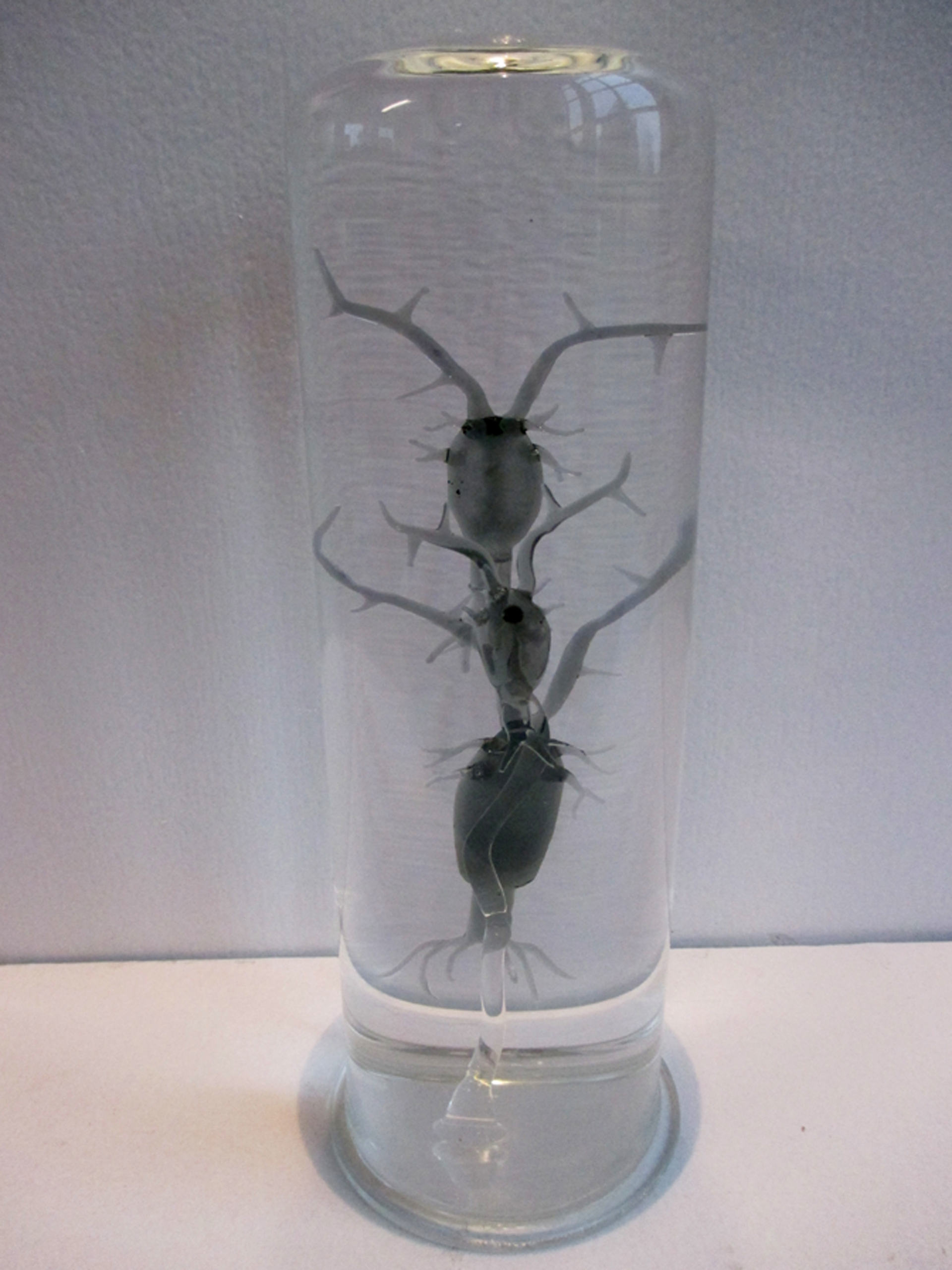 Plancton copépodes
