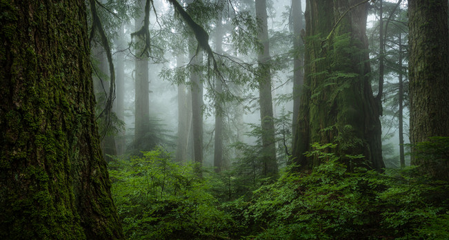Old Growth Beauty