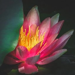Melina flower yfha 1.jpg