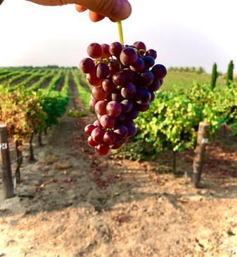 Grenache Harvest 2020