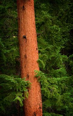 Spruce Hug